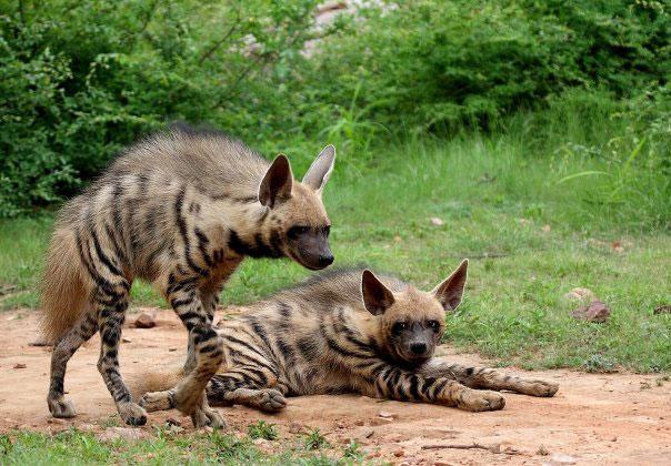 ranthambore hyena